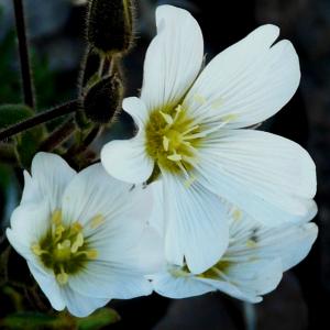 Cerastium cerastioides
