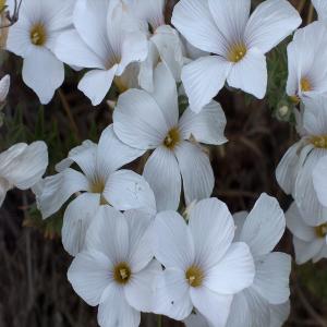 Linum hirsitum ssp. anatolicum var. anatolicum