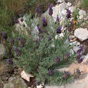 Lavandula stoechas ssp. cariensis