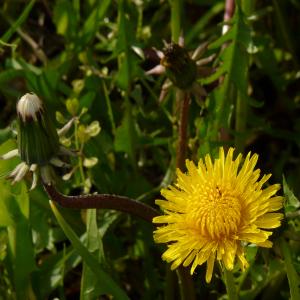 Taraxacum serotinum