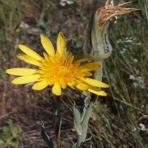 Tragopogon aureus
