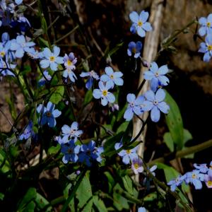 Myosotis sylvatica ssp. cyanea