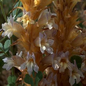 Orobanche ramosa