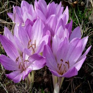 Colchicum bivonae