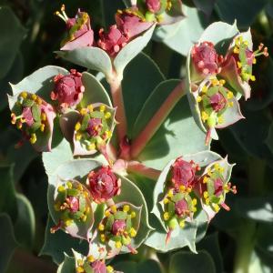 Euphorbia anacampseros var. anacampseros