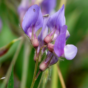 Lathyrus digitatus