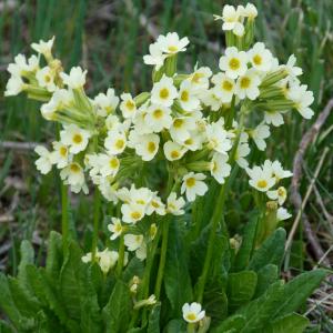Primula elatior ssp.pallasi