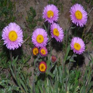Erigeron caucasicus ssp. venustus