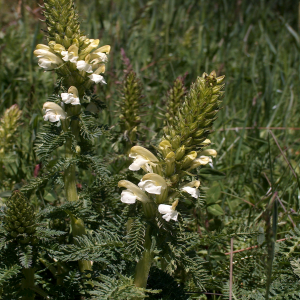 Pedicularis comosa var. sibthorpii