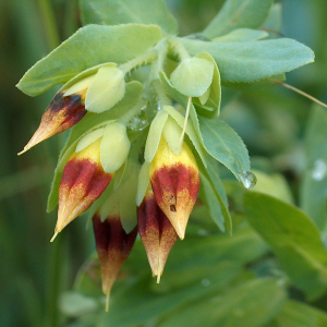 Cerinthe minor ssp. minor