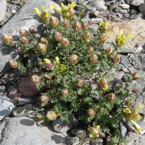 Scutellaria orientalis ssp. pinnatifida