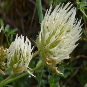 Trifolium pannonicum ssp. elongatum