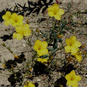 Linum mucronatum ssp. armenum