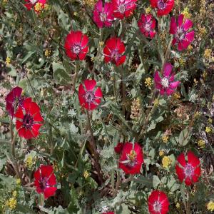 Centaurea tchihatcheffii