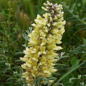Sophora alopecuroides var. alupecoroides