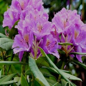 Rhododendron ponticum ssp. Ponticum var. ponticum