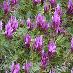 Astragalus onobrychis