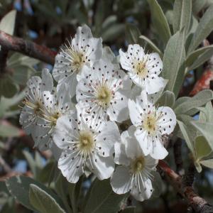 Pyrus elaeagnifolia ssp. elaeagnifolia