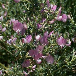 Ononis spinosa ssp. leiosperm