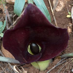 Eminium heterophyllum syn: Arum heterophyllum; Eminium intortum ssp heterophyllum