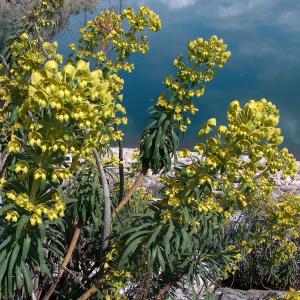 Euphorbia characias ssp. wulfenii