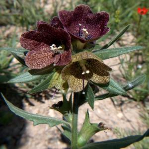 Hyoscyamus reticulatus