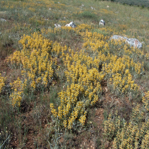 Phlomis armeniaca