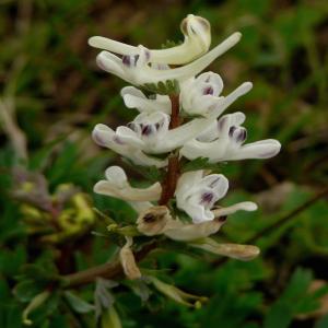 Corydalis wendelboi ssp. wendelboi