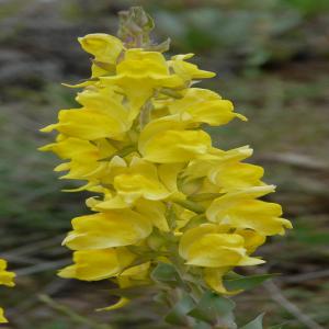 Linaria grandiflora
