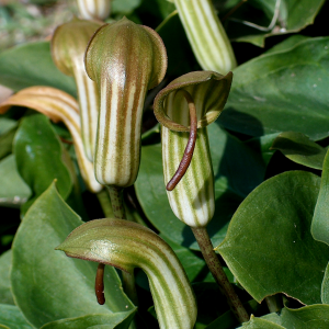 Arisarum vulgare