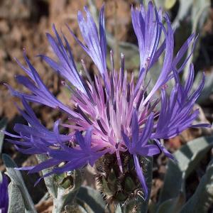 Centaurea pichleri var. pichleri