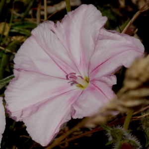 Convolvulus cantabrica