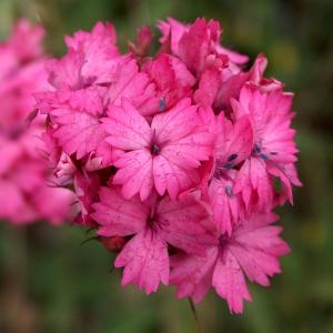 Dianthus calocephalus