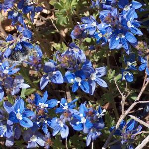 Veronica orientalis ssp. orientalis