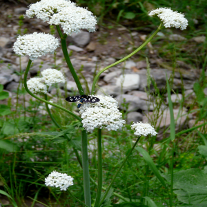 Valeriana alliarifolia