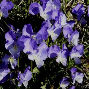 Viola altaica ssp. oreades