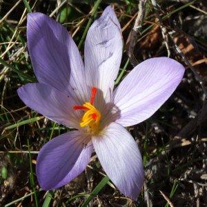 Crocus pallasii ssp. pallasii