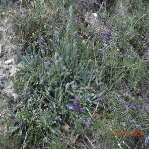 Salvia hypargeia