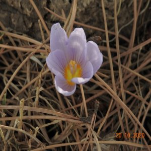 Crocus kotschyanus subsp kotschyanus
