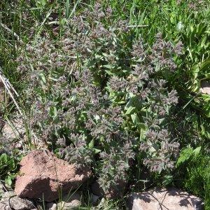 Nonea monticola Sin: Nonea pulla ssp monticola