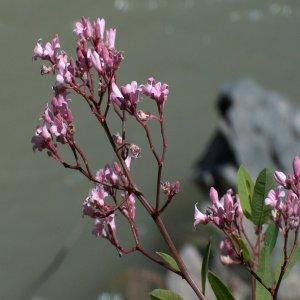 Apocynum venetum Sin: Trachomitum venetum ssp. sarmatiense