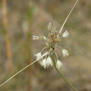 Allium paniculatum ssp.paniculatum Sin: Allium longispathum