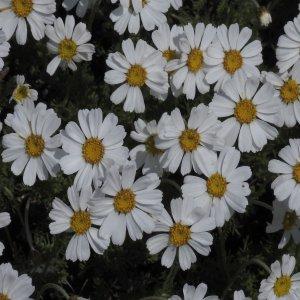 Tanacetum armenum Sin:Pyrethrum fruticulosum