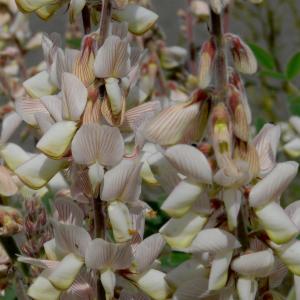 Onobrychis hypargyrea
