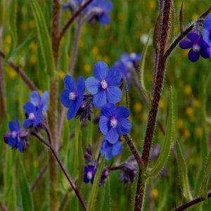 Anchusa azurea ssp. azurea