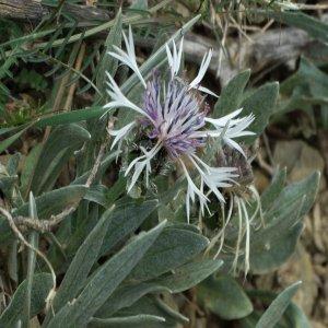 Cyanus thirkei; Sin: Centaurea thirkei; Centaurea napulifera subsp. thirkei