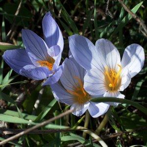 Crocus speciosus ssp. speciosus