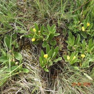 Ajuga salicifolia
