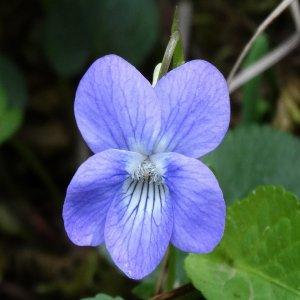 Viola sieheana