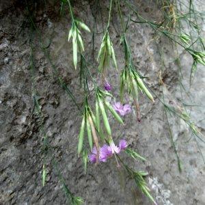 Dianthus elegans